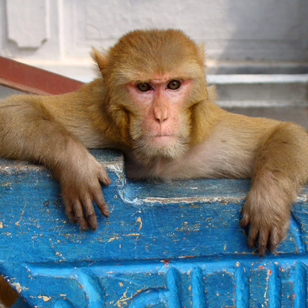 Thug Monkey in Rishikesh, India.